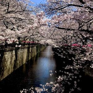 2019 桜 中目黒